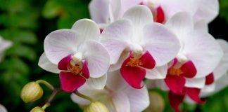 orquideas, cultivarsalud
