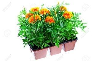 5503688-Tagetes-naranjas-brillantes-en-macetas-de-pl-sticos-sobre-un-fondo-blanco--Foto-de-archivo