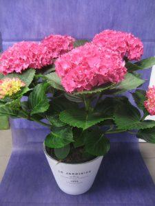 Hortensia-rosa-fucsia