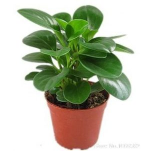 100-pcs-Peperomia-tetraphylla-biji-Dalam-ruangan-luar-rumah-kebun-bonsai-Tanaman-pohon-Jual-panas