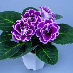 120-pcs-Hot-Sale-Beautiful-Purple-White-Side-Gloxinia-Seeds-Perennial-Flowering-Plants-Sinningia-Speciosa-Bonsai