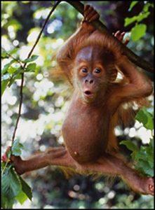 Orangutan el la selva de Indonesia