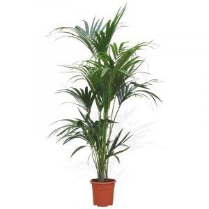 kentia-maceta-10-litros