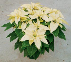 whitepoinsettia