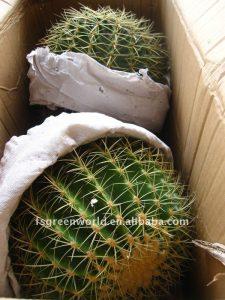 echinocactus-grusonii-cactus-plants