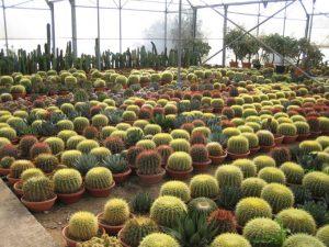 echinocactus-grusonii-c-30-a