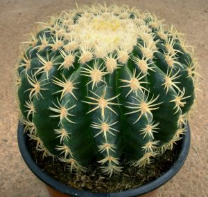 echinocactus-grusonii-brevispinus-m17_1