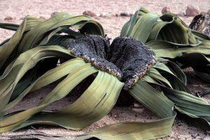csm_welwitschia-mirabilis-0880_4dcd67be63