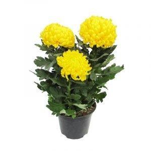 crisantemo-tur