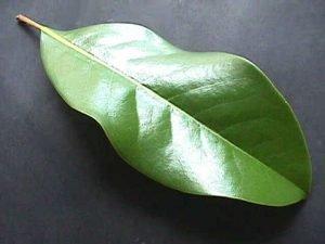 magnolia_grandiflora_11
