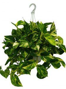 epipremnum-aureum-colgar-plantas-colgantes