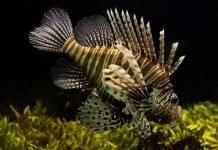 El pez león que pone en peligro los ecosistemas