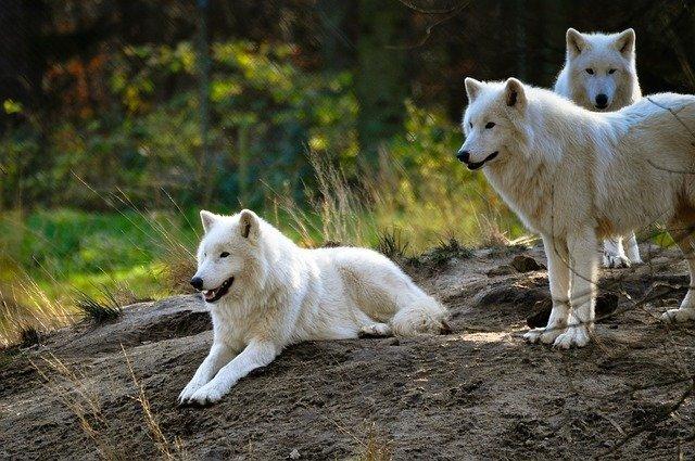 El lobo y su importancia en los ecosistemas