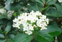 Durillo Viburnum tinus