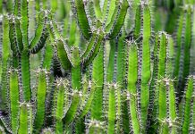 Las espinas de los cactus