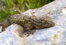 El dragón de pared: fascinante y beneficioso